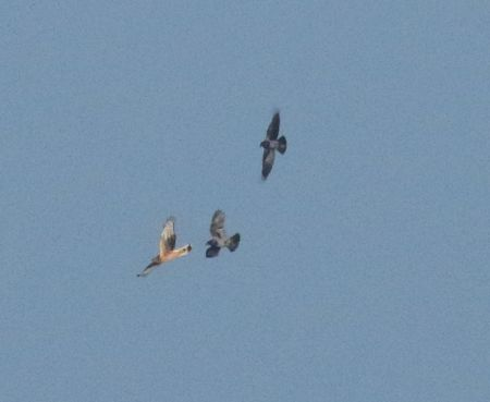 Hen harrier mobbed by crows. Foto. Jennifer Leung