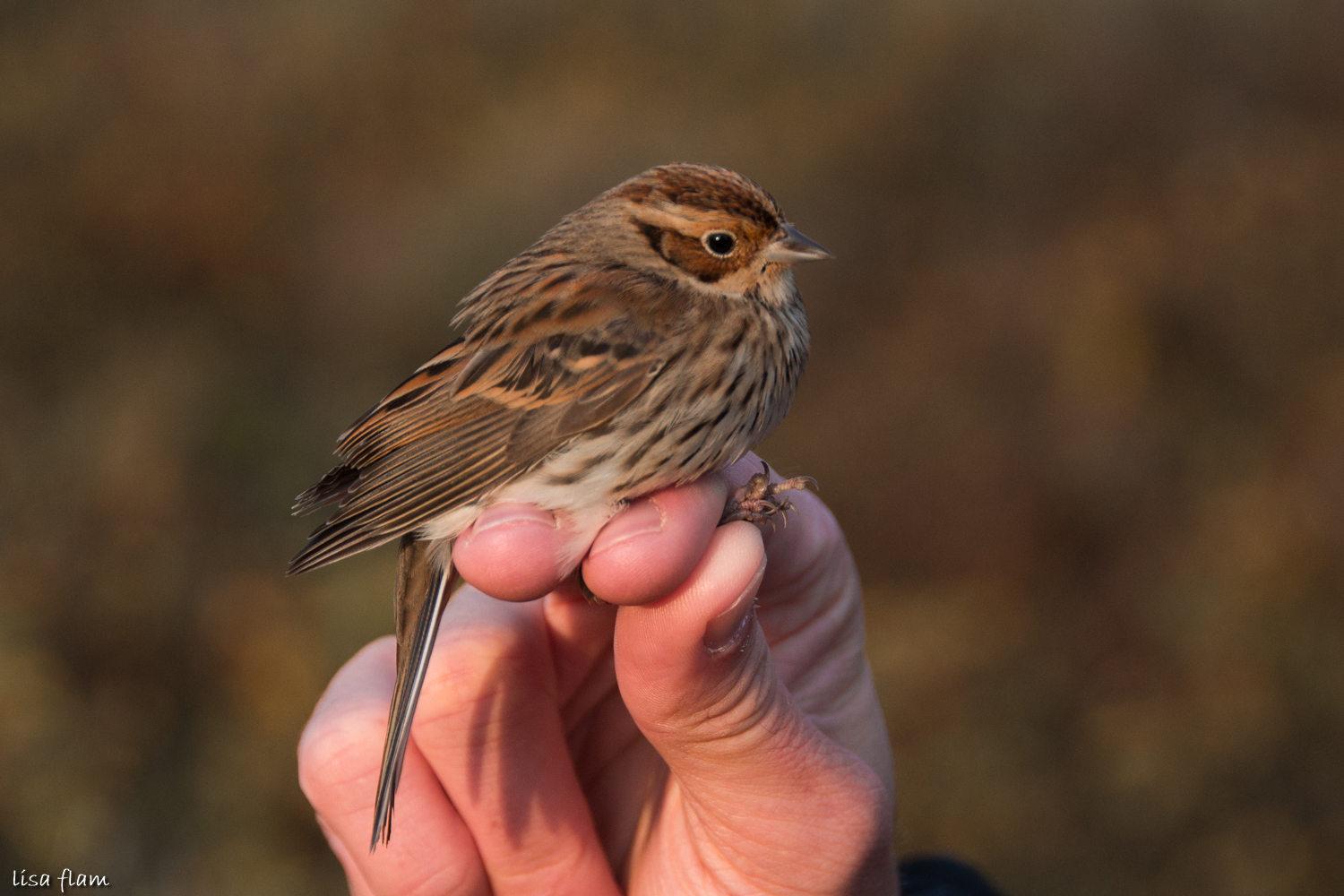 Little Bunting 1.4