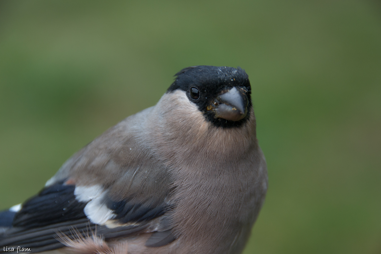 female bullfinch 2