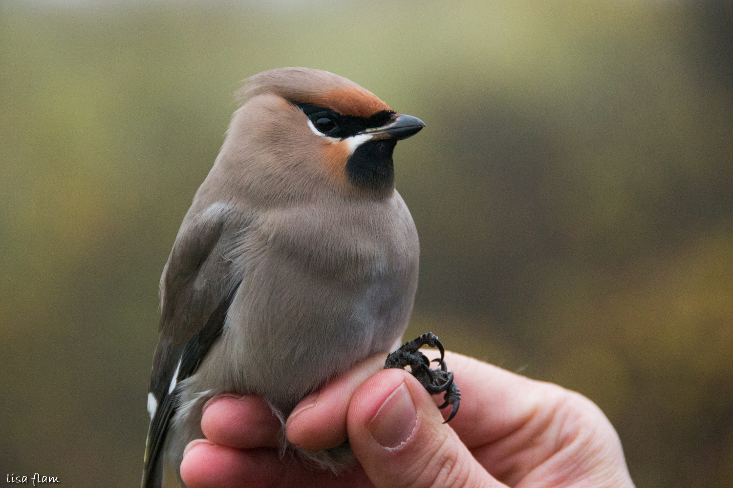 waxwing face 2 1.2